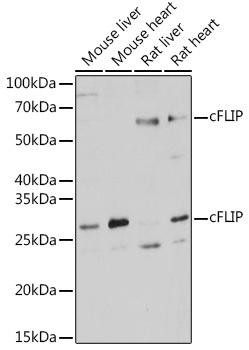 Cell Death Antibodies 1 Anti-cFLIP Antibody CAB2555
