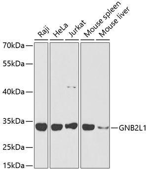 Cell Death Antibodies 1 Anti-GNB2L1 Antibody CAB2560