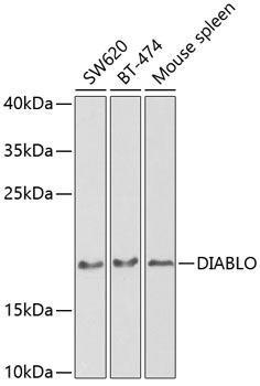 Cell Death Antibodies 1 Anti-DIABLO Antibody CAB2564