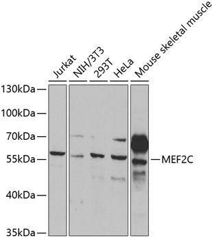 Cell Death Antibodies 1 Anti-MEF2C Antibody CAB2585