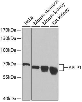 Cell Death Antibodies 1 Anti-APLP1 Antibody CAB2634
