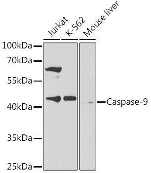 Cell Death Antibodies 1 Anti-Caspase-9 Antibody CAB2636