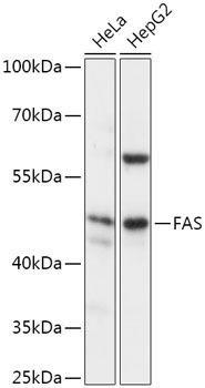 Cell Death Antibodies 1 Anti-FAS Antibody CAB2639