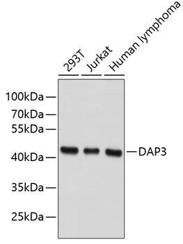 Cell Death Antibodies 1 Anti-DAP3 Antibody CAB2714