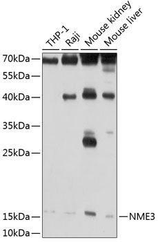 Cell Death Antibodies 1 Anti-NME3 Antibody CAB2774