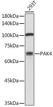 Cell Death Antibodies 1 Anti-PAK4 Antibody CAB2782