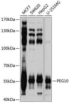 Cell Death Antibodies 1 Anti-PEG10 Antibody CAB2787