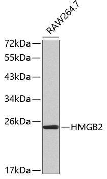 Cell Biology Antibodies 8 Anti-HMGB2 Antibody CAB2973