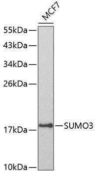 Signal Transduction Antibodies 2 Anti-SUMO3 Antibody CAB3099