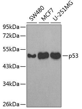 Cell Death Antibodies 1 Anti-p53 Antibody CAB3185
