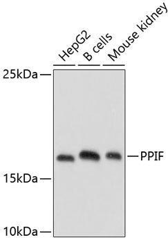 Cell Death Antibodies 1 Anti-PPIF Antibody CAB3208