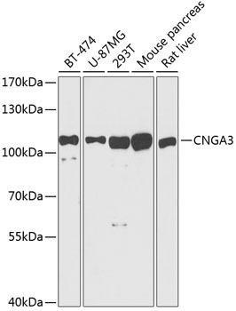 Signal Transduction Antibodies 2 Anti-CNGA3 Antibody CAB3288