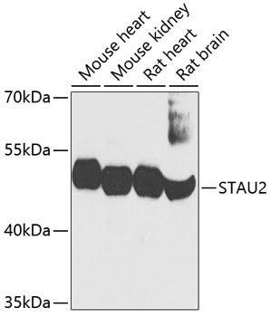 Signal Transduction Antibodies 2 Anti-STAU2 Antibody CAB3413