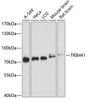 Signal Transduction Antibodies 2 Anti-TRIM41 Antibody CAB3538