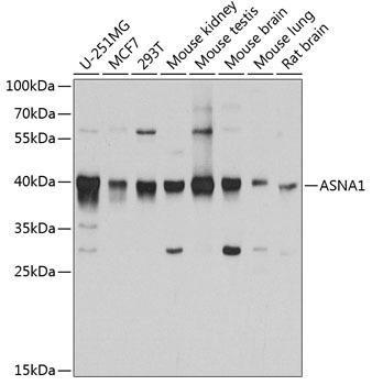 Signal Transduction Antibodies 2 Anti-ASNA1 Antibody CAB3746