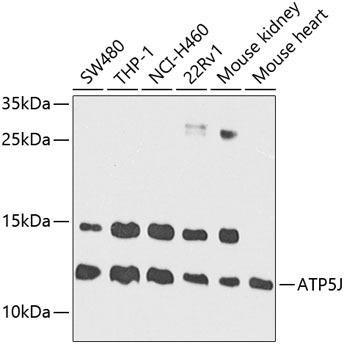 Signal Transduction Antibodies 2 Anti-ATP5J Antibody CAB3751