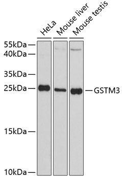 Signal Transduction Antibodies 2 Anti-GSTM3 Antibody CAB3905