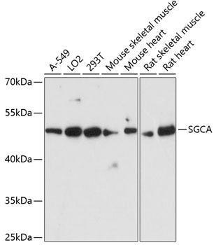 Signal Transduction Antibodies 2 Anti-SGCA Antibody CAB4109