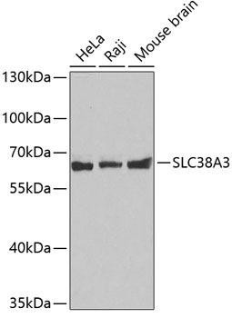 Signal Transduction Antibodies 2 Anti-SLC38A3 Antibody CAB4472