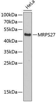 Signal Transduction Antibodies 2 Anti-MRPS27 Antibody CAB4527