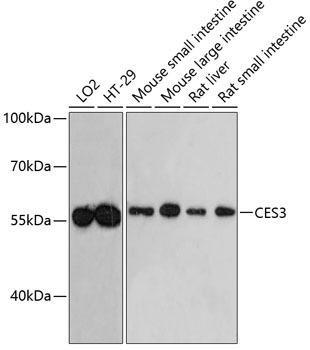 Signal Transduction Antibodies 2 Anti-CES3 Antibody CAB4558