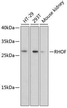 Signal Transduction Antibodies 2 Anti-RHOF Antibody CAB4786