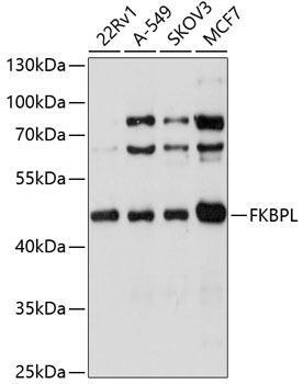 Cell Biology Antibodies 9 Anti-FKBPL Antibody CAB4916