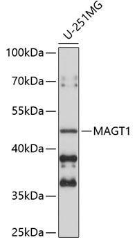 Signal Transduction Antibodies 2 Anti-MAGT1 Antibody CAB5039
