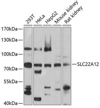 Signal Transduction Antibodies 2 Anti-SLC22A12 Antibody CAB5118