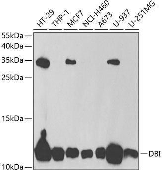 Signal Transduction Antibodies 3 Anti-DBI Antibody CAB5370