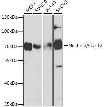 Cell Biology Antibodies 9 Anti-Nectin 2/CD112 Antibody CAB5378