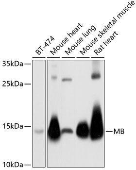Signal Transduction Antibodies 3 Anti-MB Antibody CAB5471