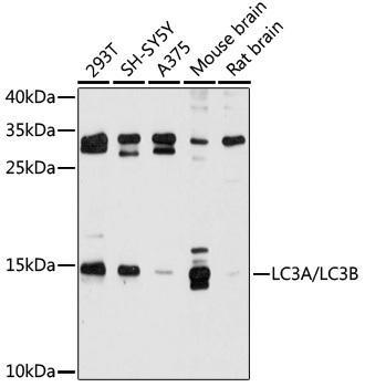 Autophagy Antibodies Anti-LC3A/LC3B Antibody CAB5618