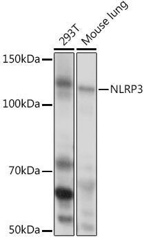 Immunology Antibodies 2 Anti-NLRP3 Antibody CAB5652