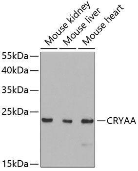 Signal Transduction Antibodies 3 Anti-CRYAA Antibody CAB5725