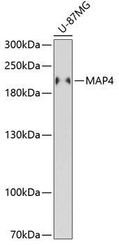 Signal Transduction Antibodies 3 Anti-MAP4 Antibody CAB5906