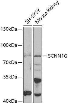 Signal Transduction Antibodies 3 Anti-SCNN1G Antibody CAB6126