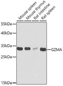 Cell Death Antibodies 2 Anti-GZMA Antibody CAB6231