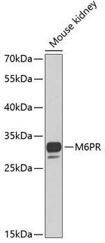Signal Transduction Antibodies 3 Anti-M6PR Antibody CAB6296