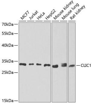 Signal Transduction Antibodies 3 Anti-CLIC1 Antibody CAB6363
