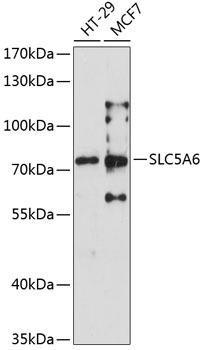 Signal Transduction Antibodies 3 Anti-SLC5A6 Antibody CAB6434