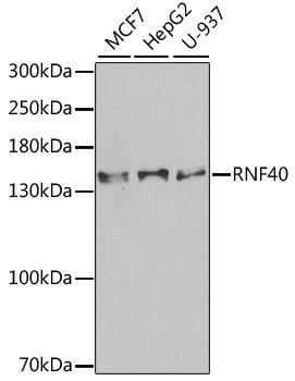 Signal Transduction Antibodies 3 Anti-RNF40 Antibody CAB6443