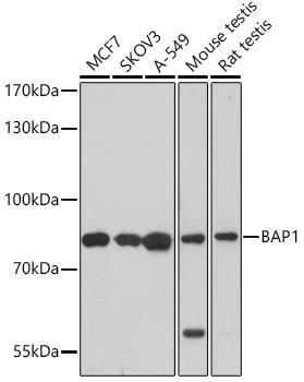 Signal Transduction Antibodies 3 Anti-BAP1 Antibody CAB6533