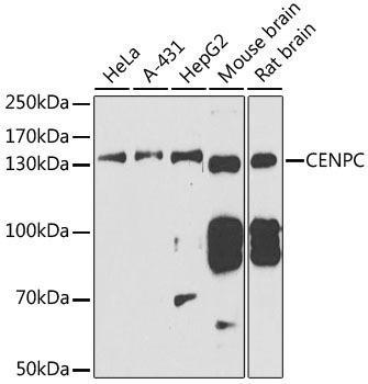Cell Cycle Antibodies 1 Anti-CENPC Antibody CAB6557