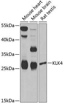 Signal Transduction Antibodies 3 Anti-KLK4 Antibody CAB6642