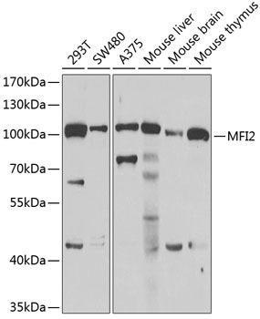 Signal Transduction Antibodies 3 Anti-MFI2 Antibody CAB6653