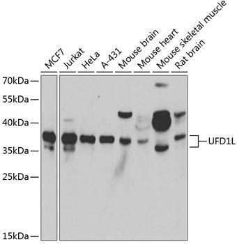 Signal Transduction Antibodies 3 Anti-UFD1L Antibody CAB6783