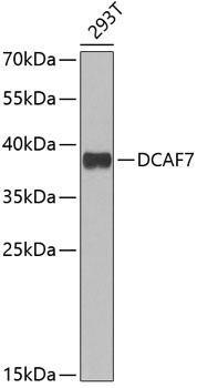 Signal Transduction Antibodies 3 Anti-DCAF7 Antibody CAB6787