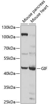 Signal Transduction Antibodies 3 Anti-GIF Antibody CAB6914