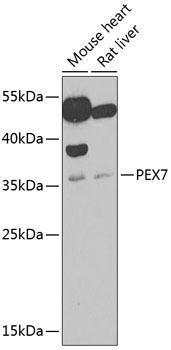 Cell Biology Antibodies 10 Anti-PEX7 Antibody CAB6944